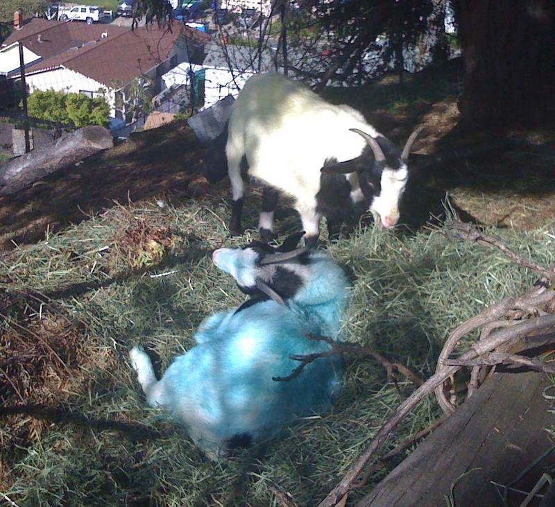 Blue Goats