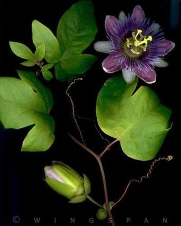 Petuniaz_passiflora_2